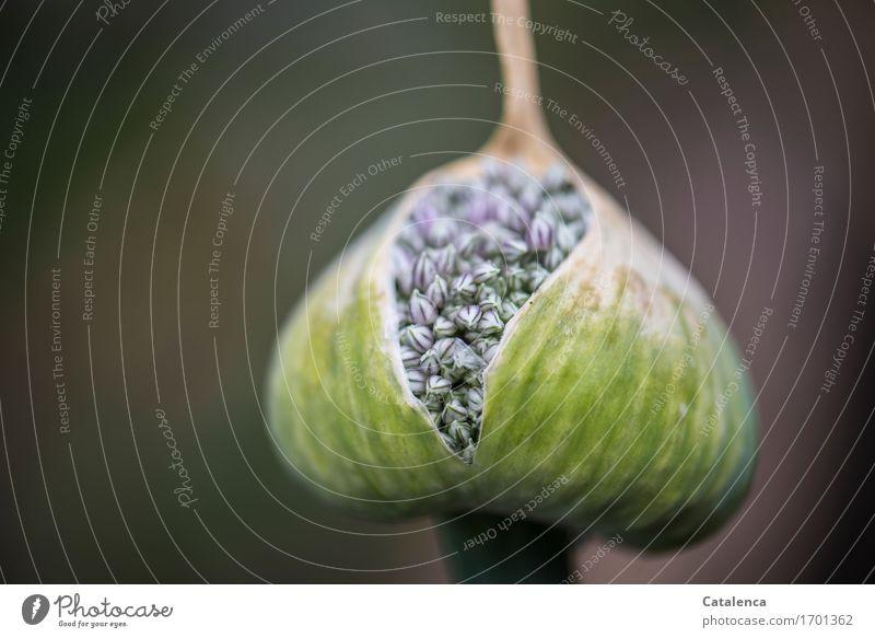 Aufgeplatzt Garten Natur Pflanze Sommer Blüte Nutzpflanze Porree Blühend wandern schön braun grün violett weiß geduldig verbreiten Design Energie Lauchblüte