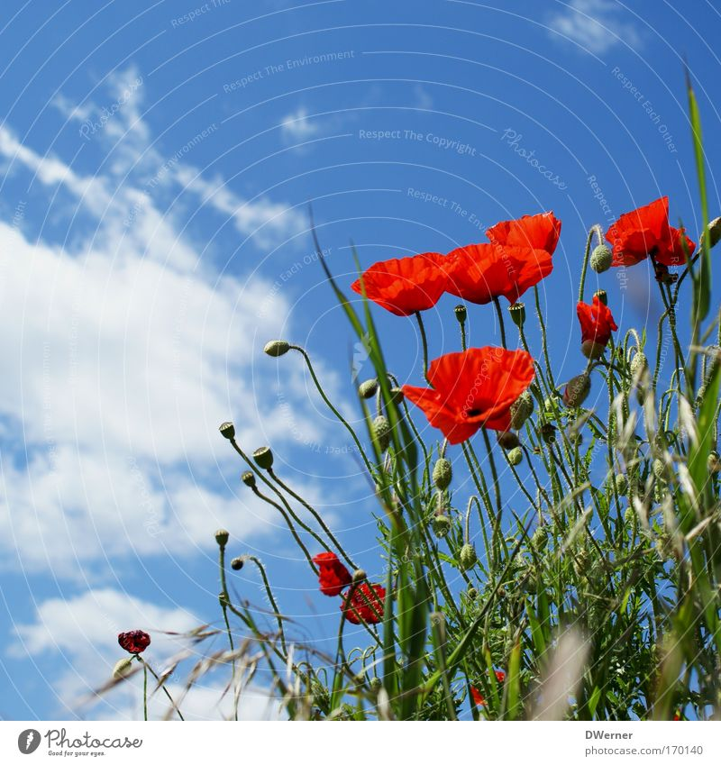 mit den wolken ziehen I Himmel Natur blau rot Pflanze Sonne Sommer Blume Wolken ruhig Umwelt Wiese Blüte träumen Gesundheit Tanzen