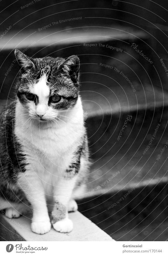 Canim Treppe Tier Haustier Katze Tiergesicht Fell Pfote sitzen elegant schön grau schwarz weiß Gefühle Stimmung Tierliebe Gelassenheit geduldig ruhig