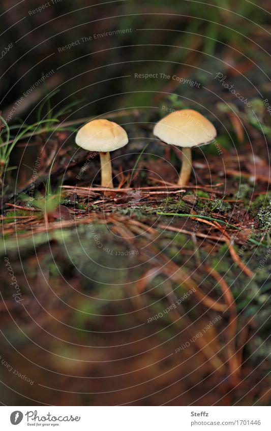 zwei kleine Pilze im Wald Waldpilze Waldboden Herbstwald giftige Pilze Herbstgefühl Achtsamkeit in der Natur Herbststimmung September herbstliche Impression