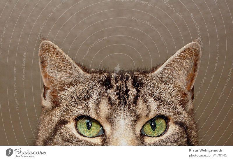 I see you Farbfoto Innenaufnahme Nahaufnahme Detailaufnahme Blitzlichtaufnahme Schwache Tiefenschärfe Tierporträt Blick Katze 1 beobachten grau grün