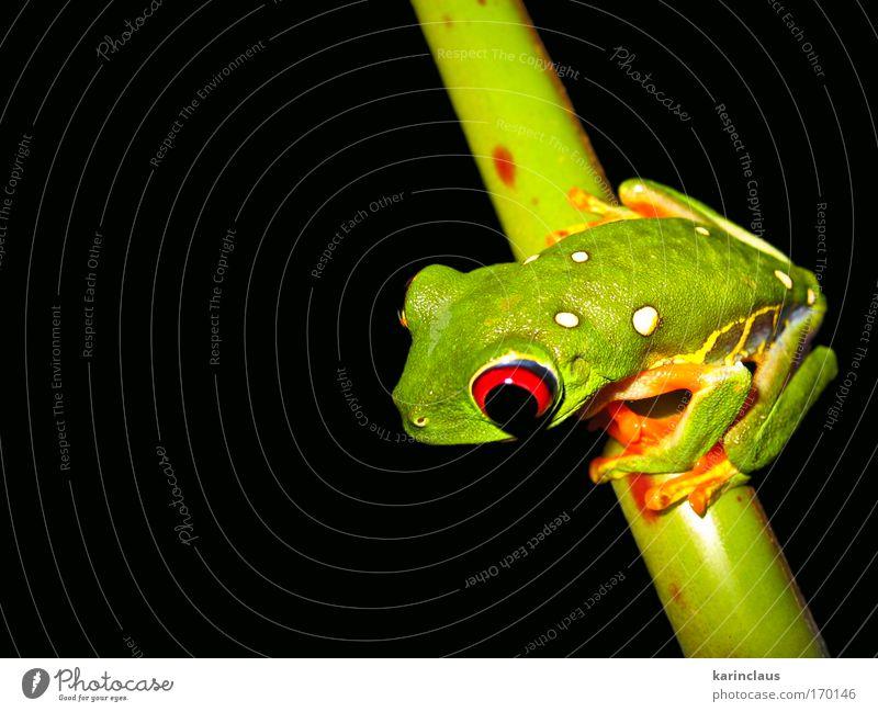 tropischer Baumfrosch Farbfoto mehrfarbig Nahaufnahme Detailaufnahme Makroaufnahme Textfreiraum links Textfreiraum unten Nacht Kunstlicht Blitzlichtaufnahme