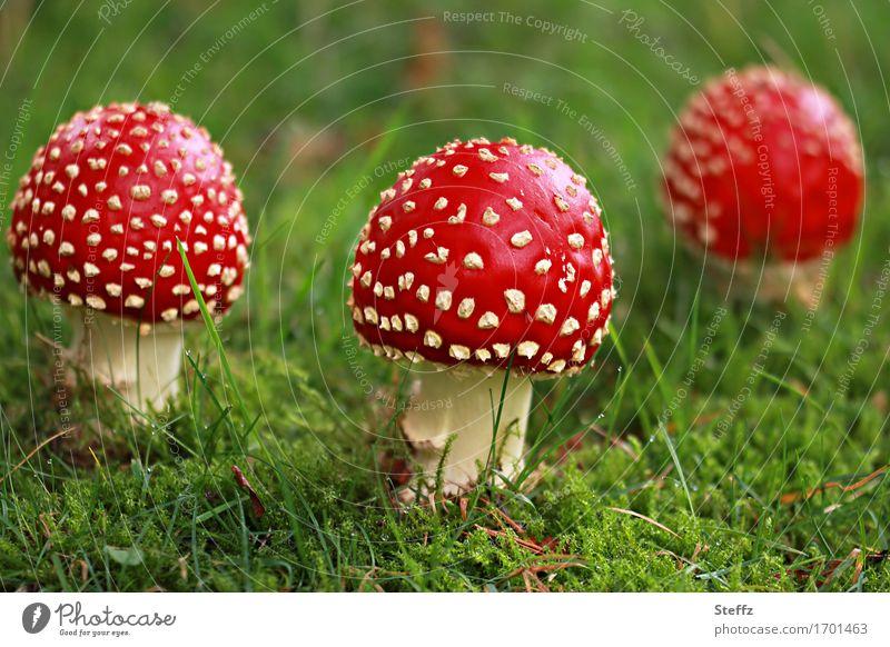 drei Rotkäppchen auf einer grünen Waldwiese Fliegenpilze Pilze giftige Pilze Glückssymbol Glückspilze Waldpilze Amanita muscaria Roter Fliegenpilz grüne Wiese