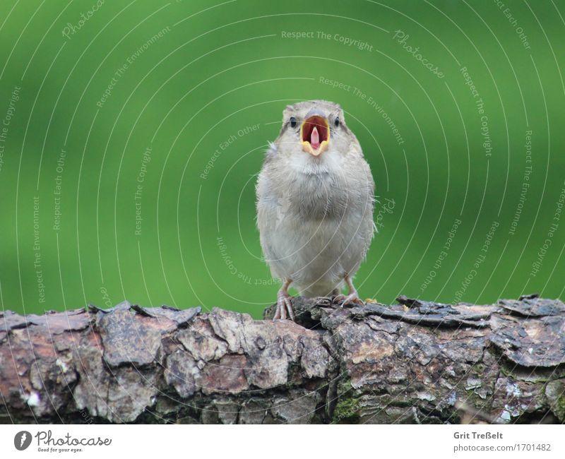 Haussperling grün Tierjunges lustig Holz braun Vogel Zufriedenheit Wildtier Neugier Müdigkeit frech