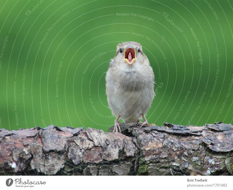 Haussperling Wildtier Vogel Tierjunges Holz frech lustig Neugier braun grün Zufriedenheit Müdigkeit Farbfoto Außenaufnahme Textfreiraum oben Hintergrund neutral