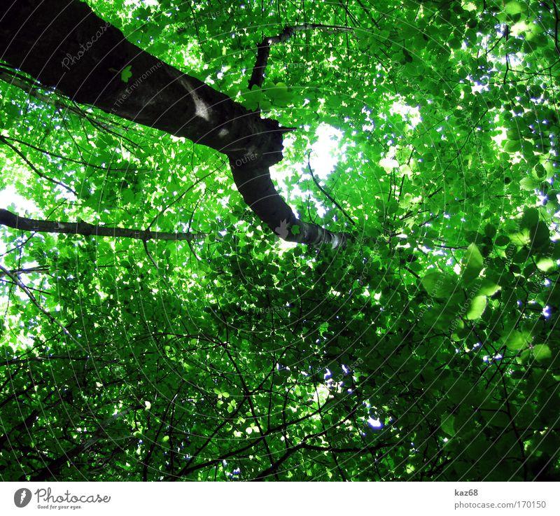 Naturdach Blatt Wald grün Wachstum Blätterdach Leben Vernetzung Baum Baumkrone Pflanze Perspektive Nadelwald Laubwald Waldwiese Paradies Waldlichtung ruhig
