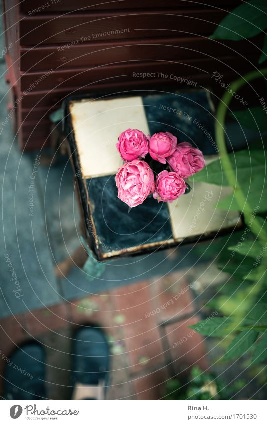 RosenStill von oben Mensch Wand Mauer Garten Dekoration & Verzierung authentisch Schuhe Perspektive Blühend Blumenstrauß Fliesen u. Kacheln Terrasse Grünpflanze