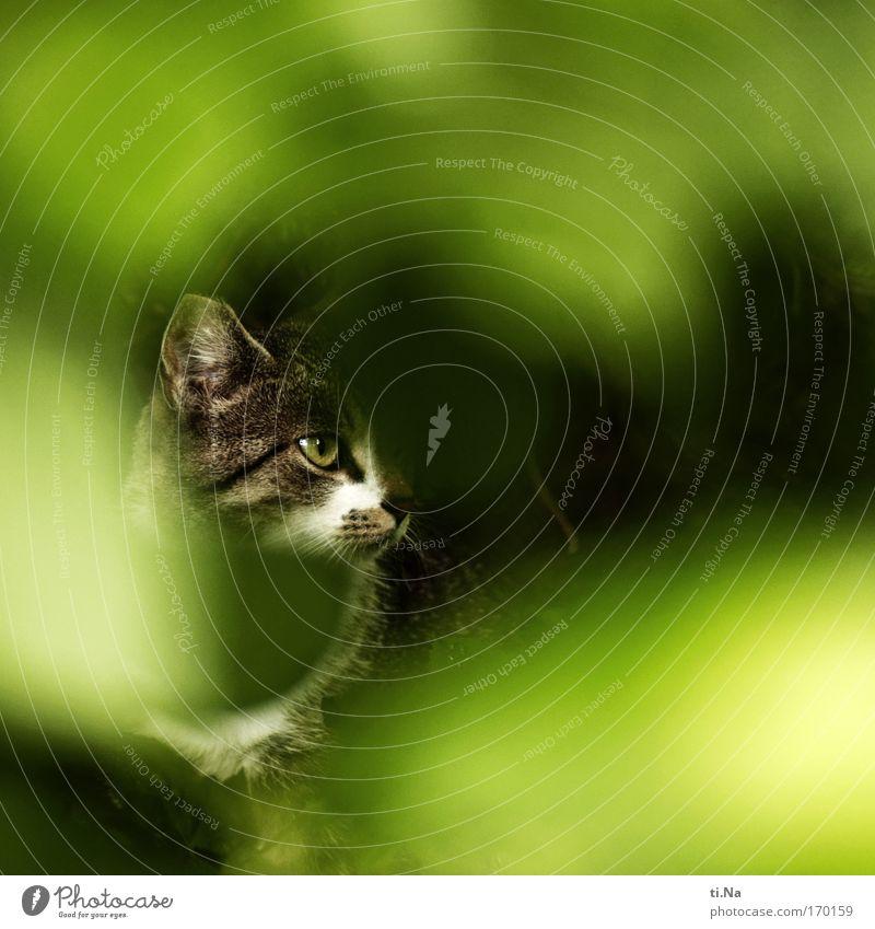 Mäusejägerin Katze weiß grün Tier schwarz braun Wildtier natürlich beobachten Neugier Jagd entdecken Wachsamkeit Haustier Ausdauer Schüchternheit