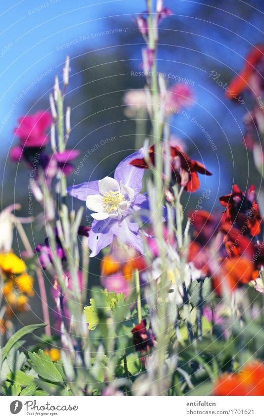 Sommerblömkes Umwelt Natur Pflanze Himmel Sonne Frühling Klima Wetter Schönes Wetter Baum Blume Sträucher Blatt Blüte Garten Park natürlich schön mehrfarbig