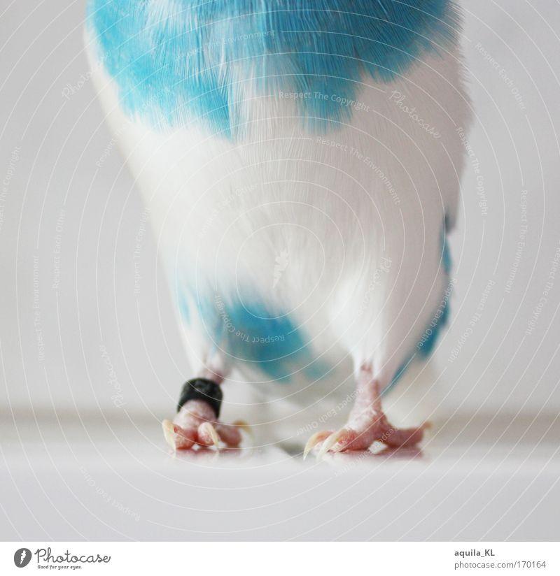 DODO ist schüchtern weiß Tier Vogel Feder Wildtier Australien Haustier Krallen Papageienvogel blau-weiß Wellensittich Australier