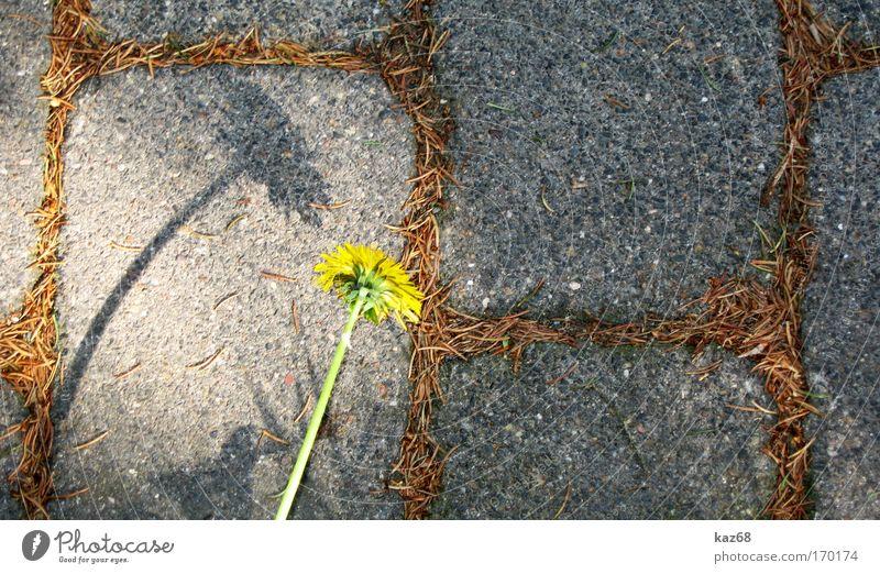 Nicht den Kopf hängen lassen Löwenzahn Schatten Stein protestieren rebellieren Selbstständigkeit Kraft Umwelt Umweltverschmutzung Umweltschutz Wachstum