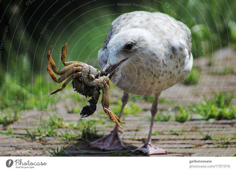 Festschmaus Frühstück Mittagessen Natur Tier Vogel Krabbe Krebstier Möwe 2 entdecken Essen authentisch lecker Festessen Appetit & Hunger Ernährung Farbfoto