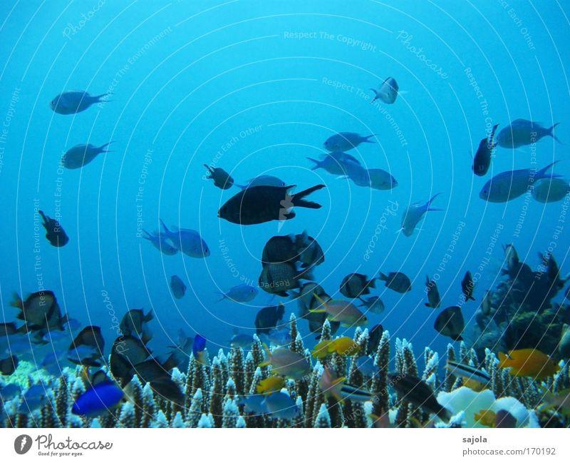 viele, viele bunte fische Natur blau Meer Unterwasseraufnahme mehrfarbig Freude Tier Umwelt Freiheit Bewegung Schwimmen & Baden Freizeit & Hobby Wildtier Wasser