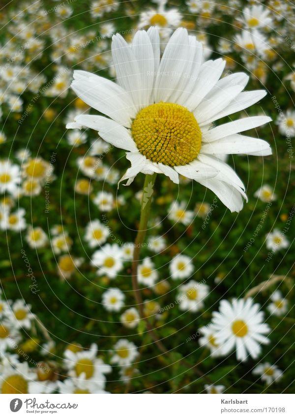 illusions. perdues. honoré de balzac. Natur weiß grün Pflanze Sommer Blume ruhig Erholung Umwelt Wiese Frühling Blüte Park außergewöhnlich stehen einzigartig