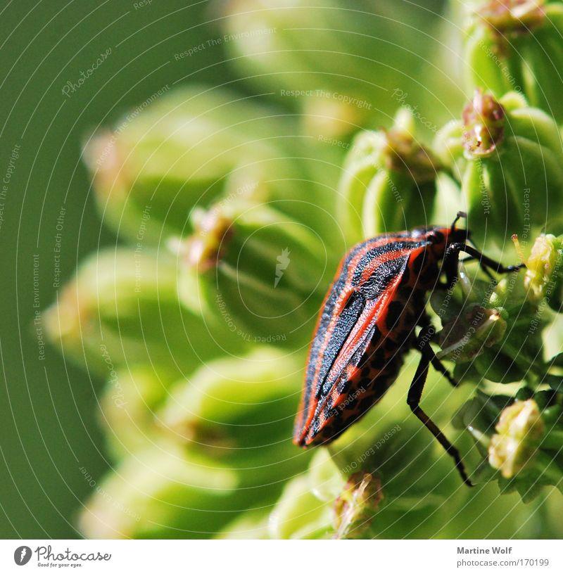 Kletterkünstler Natur Pflanze Tier Blume Käfer Streifenwanze Wanze 1 krabbeln frei natürlich grün rot schwarz Licht Klettern Panzer Farbfoto mehrfarbig