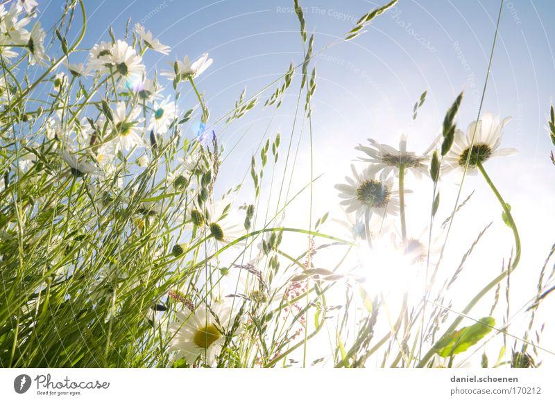 Sommerwiesenblümchenbild Natur Himmel weiß Sonne Blume blau Pflanze Wiese Blüte Gras Frühling hell frisch ästhetisch Schönes Wetter