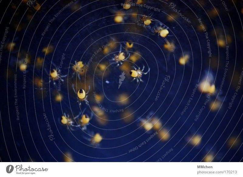 Sternbild Kleiner Spinner Farbfoto Tiergruppe Zusammensein Spielen dunkel gruselig blau gelb Angst Ekel Netz Netzwerk Spinnennetz Spinnenbeine Nachkommen