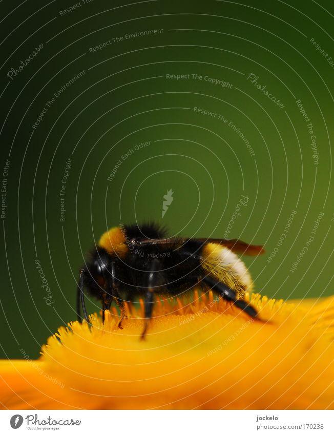 Bombus pratorum Pflanze Tier Flügel 1 schön klein natürlich gelb gold Hummel Blüte bestäuben Farbfoto Makroaufnahme Textfreiraum oben Tag Unschärfe