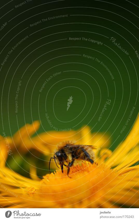 Auf meinem Teller ist ne Biene Natur Pflanze Tier Sommer 1 mehrfarbig gelb Farbfoto Außenaufnahme Nahaufnahme Makroaufnahme Textfreiraum oben Tag Unschärfe