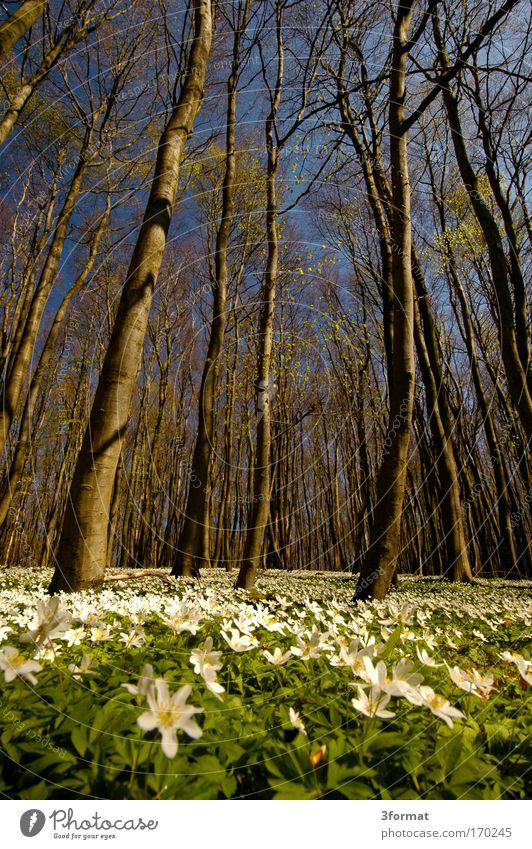 FRÜHLING IM WALD Himmel blau Baum Blume Wald Blüte Glück Frühling weich zart Moos Märchen Zauberei u. Magie Teppich Geburt Blauer Himmel