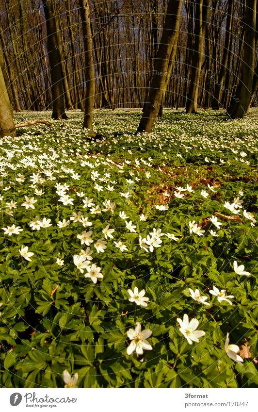 FRÜHLING IM WALD blau Baum Blume Wald Blüte Glück Frühling weich zart Duft Schönes Wetter Moos Stoff Märchen Zauberei u. Magie Teppich