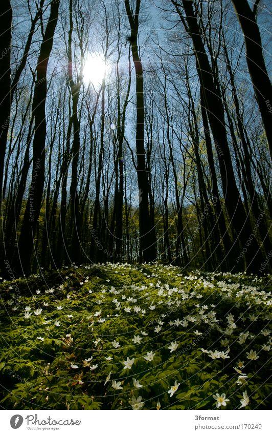 FRÜHLING IM WALD Wald Frühling Schwanenblumengewächse Blumenbeet blumenförmig Blumenerde Duft Blumenwiese Blüte Baum Himmel blau blauer Himmel Buden Teppich