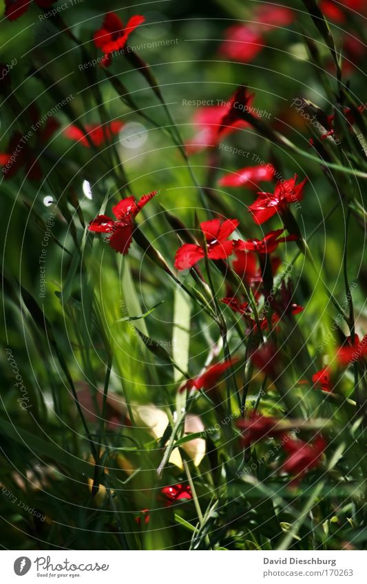 Farbenwelt der Wiese Natur grün schön Sommer Pflanze rot Blume Umwelt Frühling Blüte einzigartig Blühend Stengel Wiesenblume Wildpflanze