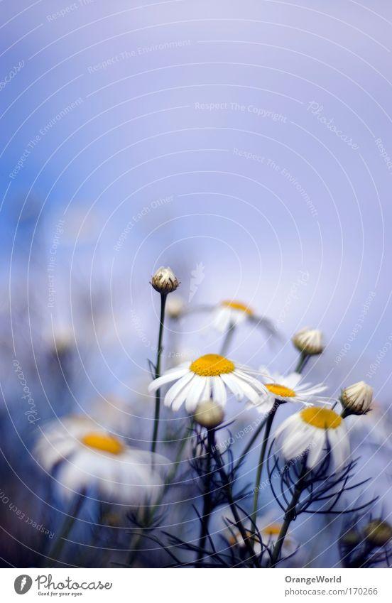 Guten Morgen, Herr Präsident Farbfoto Außenaufnahme Makroaufnahme Menschenleer Schwache Tiefenschärfe Natur Pflanze Himmel Wolken Sommer Schönes Wetter Blume
