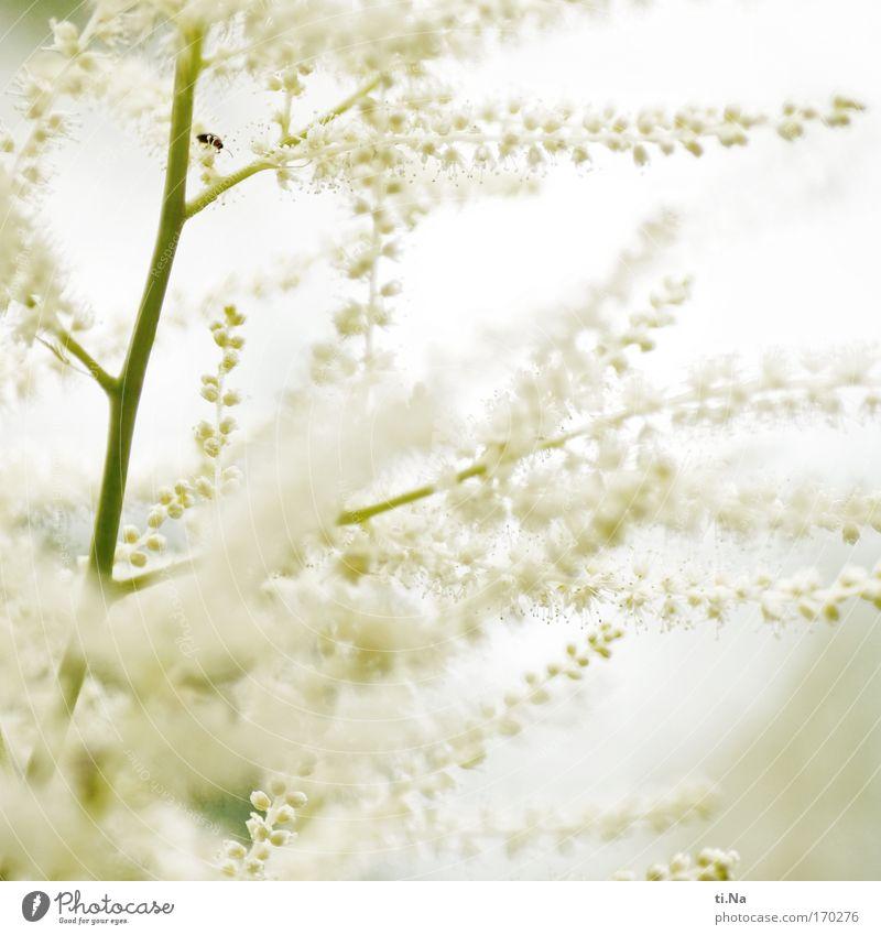 Blütenzauber in weiß Natur weiß grün schön Pflanze Sommer Tier Farbe Umwelt Frühling Blüte ästhetisch Wachstum authentisch Sträucher Frieden