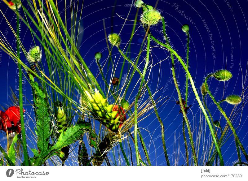 Feld-Studie Natur schön Himmel grün blau Pflanze rot Sommer Farbe Bewegung elegant Fröhlichkeit Wachstum berühren Blühend