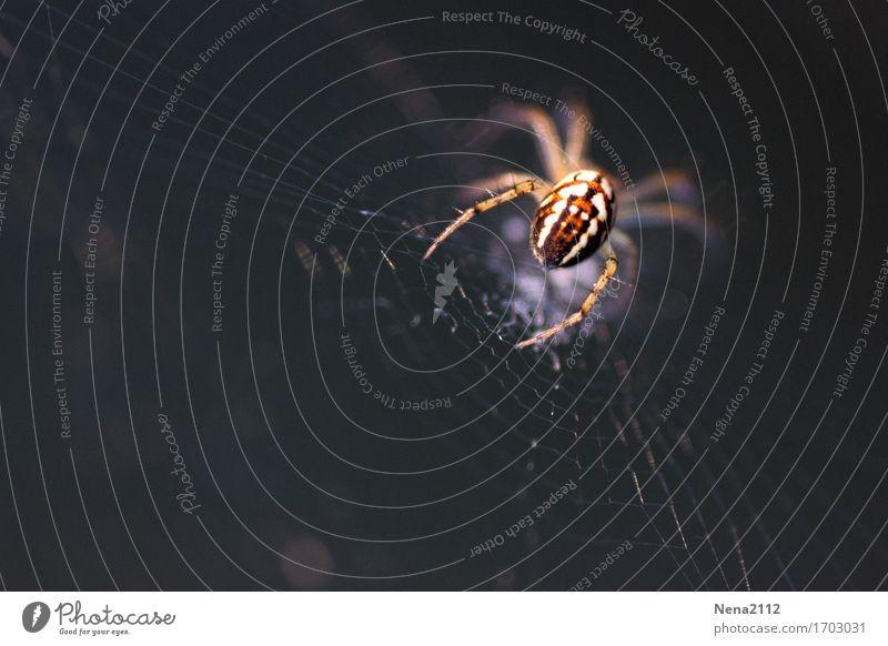 und Tchüß... Umwelt Natur Tier Garten Park Wiese Feld Wald Spinne 1 krabbeln warten Insekt klein laufen Spinnennetz Kreuzspinne dunkel Angst Farbfoto