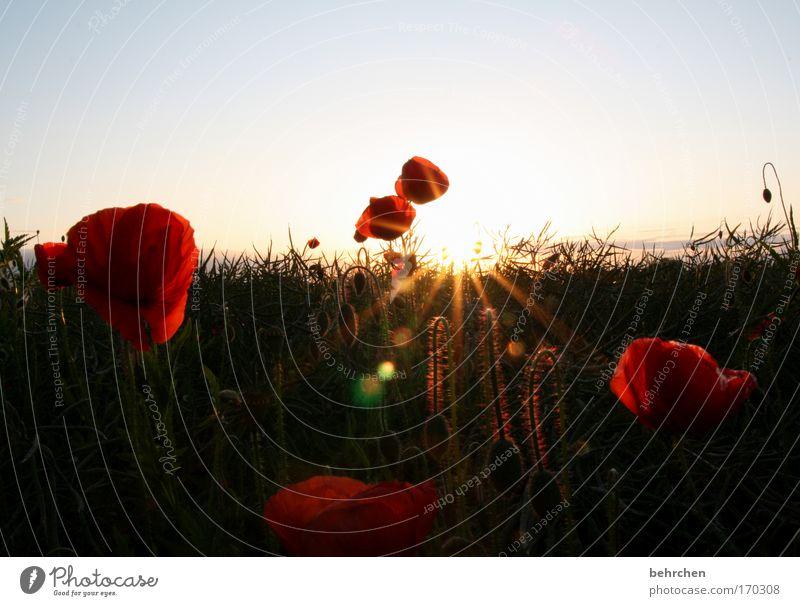 geringfügig morphinhaltig Natur schön Sonne Pflanze rot Sommer Frühling Wärme Feld Umwelt Wachstum Blühend leuchten Landwirtschaft Mohn Ernte