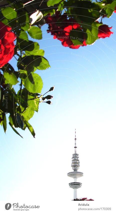 Funk-Rosen Himmel blau Pflanze Sonne Sommer Blatt Ferne Garten Park Technik & Technologie Fernseher Fernsehen Blühend Wahrzeichen Duft