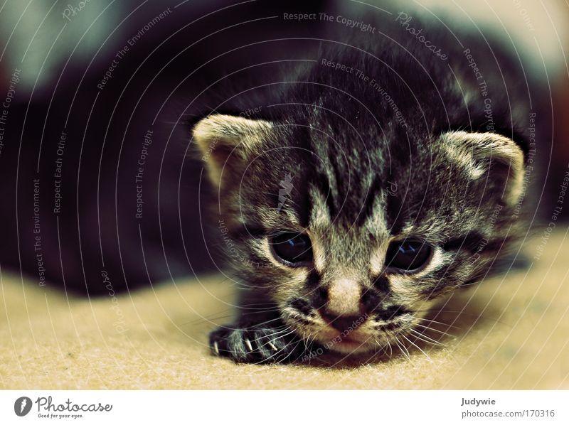 Kulleraugenkätzchen II Farbfoto Innenaufnahme Textfreiraum links Tierporträt Blick in die Kamera Haare & Frisuren Haustier Katze 1 Tierjunges entdecken gehen