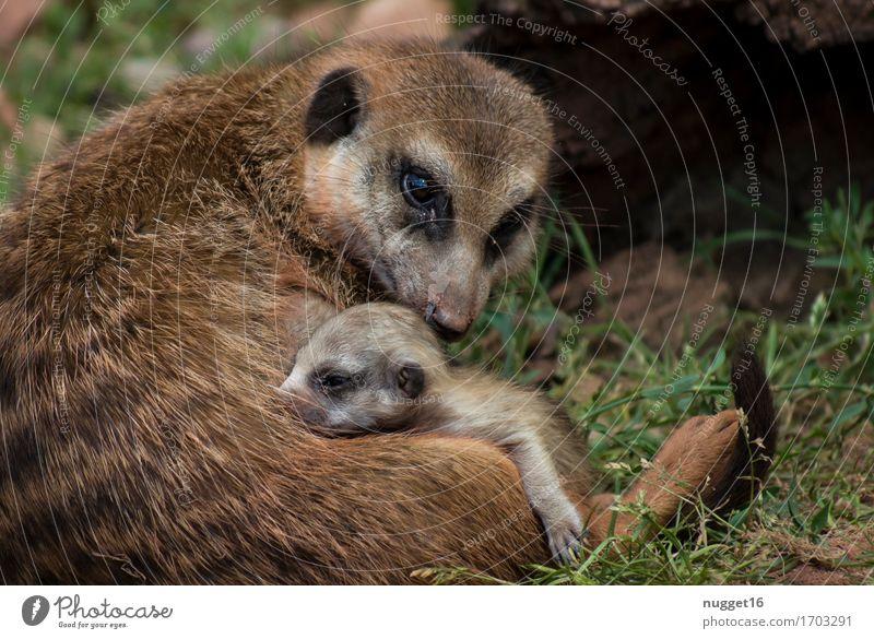 Mutterliebe Tier Gras Wiese Wildtier Fell Zoo Erdmännchen 2 Tiergruppe Tierjunges genießen schlafen sitzen träumen ästhetisch exotisch Freundlichkeit niedlich
