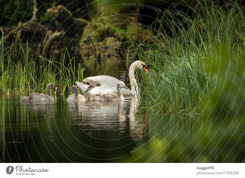Schwanensee Natur Landschaft Pflanze Tier Wasser Sommer Gras Wald Teich See Wildtier Vogel 4 Tiergruppe Tierjunges Schwimmen & Baden ästhetisch authentisch