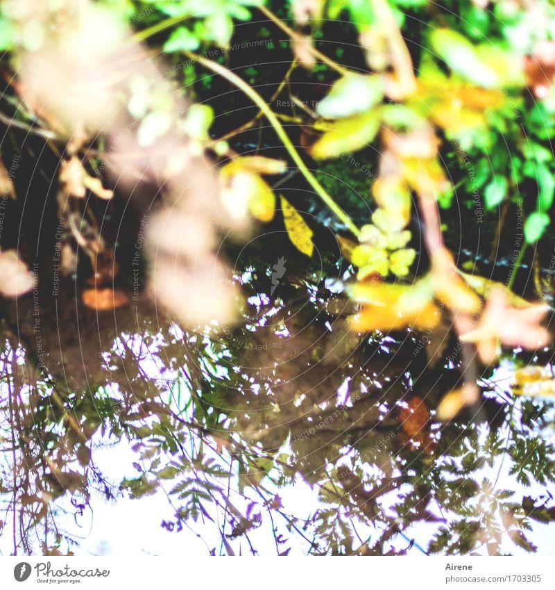 Randerscheinung Natur Wasser Pflanze Gras Blatt Seeufer Flussufer Teich Bach glänzend natürlich braun gelb grün grünen üppig (Wuchs) Reflexion & Spiegelung