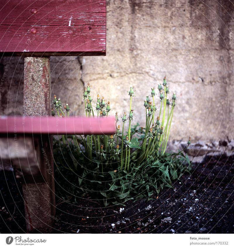 Löwenzahn und Bank Farbfoto Außenaufnahme Nahaufnahme Menschenleer Textfreiraum oben Textfreiraum unten Tag Schwache Tiefenschärfe Froschperspektive