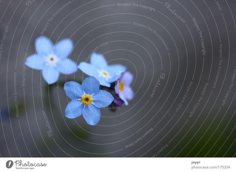 Mauerblümchen Blume blau Pflanze Einsamkeit Wand Stein Mauer Umwelt Erinnerung vergessen erinnern Vergißmeinnicht