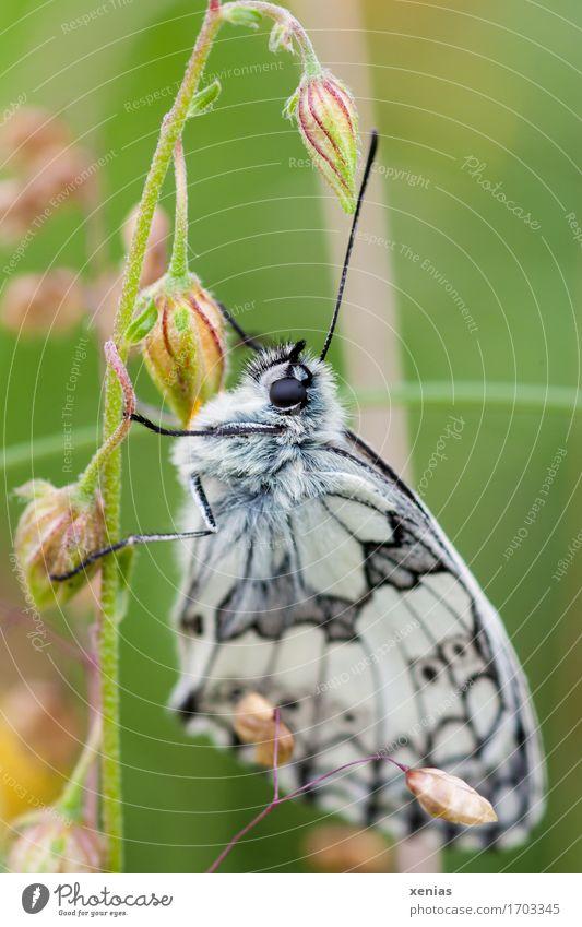 ein Schmetterling in einer Wiese Schachbrett Insekt Gras Tier Melamargia galathea 1 hängen grün schwarz weiß Natur Edelfalter Flügel Postkarte Insektensterben
