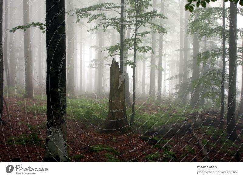 Nebelspaziergang I Farbfoto Außenaufnahme Natur Landschaft schlechtes Wetter Baum Moos Wald dunkel gruselig Angst Baumstamm Blatt unheimlich Märchen Märchenwald
