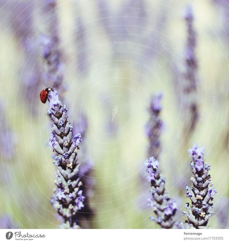 glücklicher Käfer Natur Pflanze Sommer schön ruhig Wärme Glück oben Feld Blühend Gipfel violett Symbole & Metaphern Klettern Insekt Frankreich