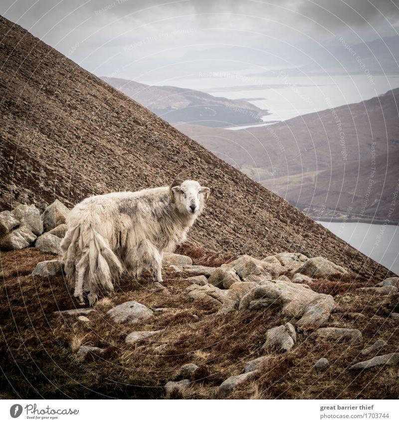 Schottland Bergschaf Himmel Natur Meer Landschaft Wolken Tier Berge u. Gebirge Umwelt Frühling außergewöhnlich Stein Felsen Wetter Wildtier authentisch Wind