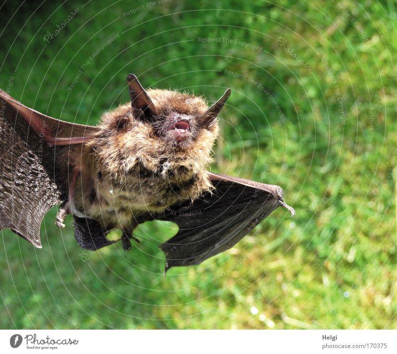 Fledermaus Natur grün Tier Tod Gras braun klein fliegen Gebiss Ohr weich Tiergesicht bedrohlich Flügel Vergänglichkeit einzigartig