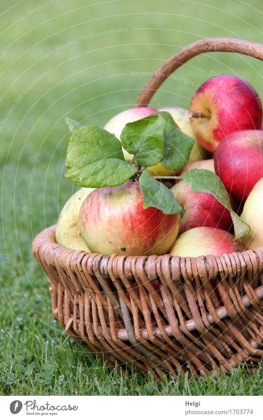 reiche Ernte... Lebensmittel Frucht Apfel Ernährung Bioprodukte Vegetarische Ernährung Umwelt Natur Herbst Blatt Garten Wiese Korb Weidenkorb liegen authentisch
