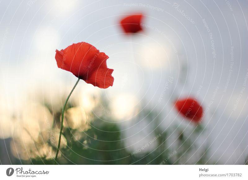 im Abendlicht... Umwelt Natur Pflanze Himmel Sonnenaufgang Sonnenuntergang Sommer Schönes Wetter Blume Blüte Wildpflanze Klatschmohn Mohnblüte Feld Blühend