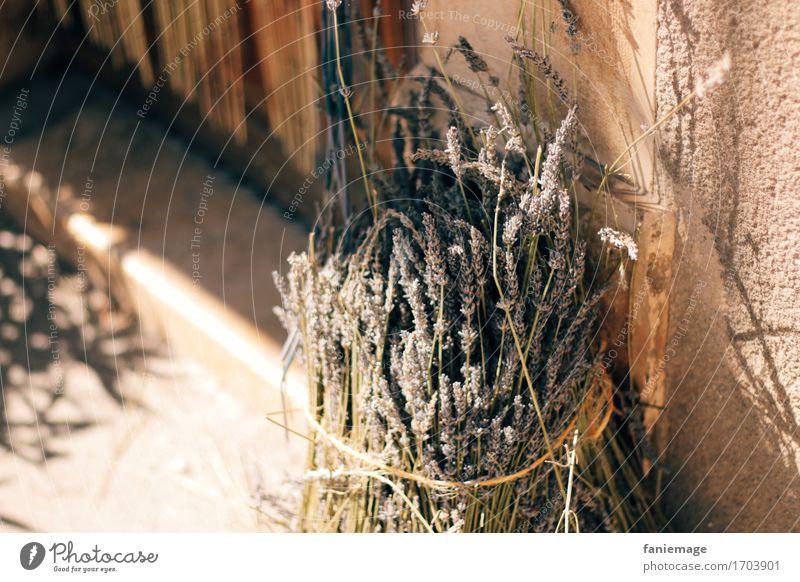 Lavendelbündel Haus Mauer Wand schön lavendelstrauß Strauß Bündel Blühend Duft Warme Farbe Sommer Provence Südfrankreich Frankreich Wärme heiß mediterran Süden