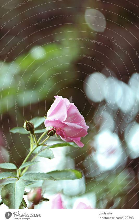 Im Rosengarten II Natur Pflanze grün schön Sommer Blume Traurigkeit Blüte Gefühle Frühling Stimmung rosa Park träumen genießen Blühend