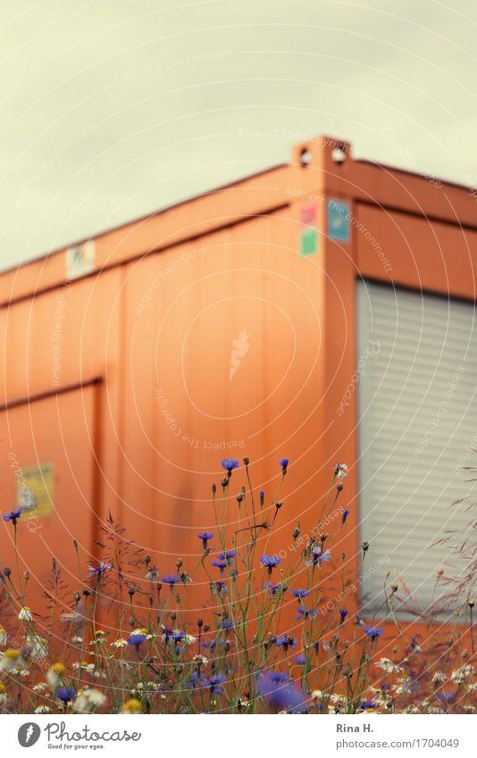 Interim Umwelt Natur Sommer Pflanze Wiesenblume Kornblume Kamille Gebäude Container Baucontainer Blühend authentisch Beginn Baustelle geschlossen Rollladen