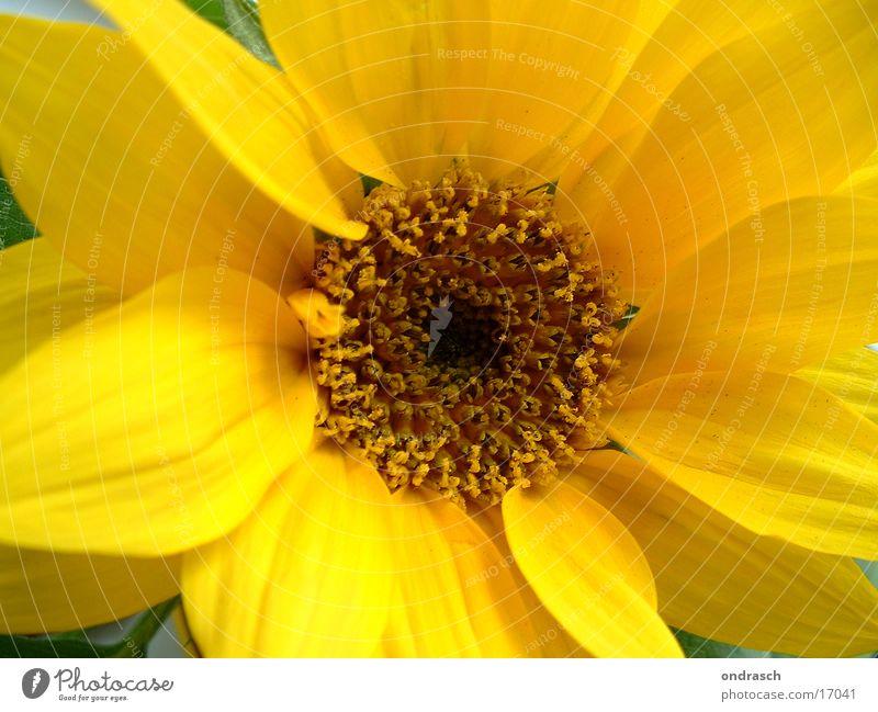 gelb macht glücklich Natur Pflanze Sommer Blume gelb Frühling orange Italien Sonnenblume Stempel